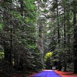 Winziges Womo im Redwood-Wald. Hartmut ist immer wieder begeistert von den Reisenbäumen.