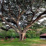 Neben unserem Womo steht ein Riesenbaum mit einem Kronendurchmesser von über 50 m.