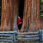 Überalls Riesenbäume, ich kanns einfach nicht lassen mit den Fotos.