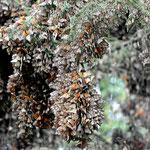 Schmetterlingslage über Schmetterlingslage, die Äste biegen sich.