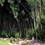 So hohen Bambus haben wir noch nie gesehen.
