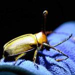 Mit unser großen Taschenlampe und meinem Blitz kann man die Käfer mit dem Makroobjektiv recht gut fotografieren.