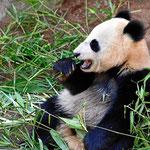 Die Pandas, der Star des Zoos San Diego.