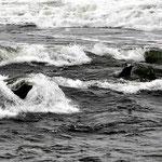 Seehunde lieben Lachse. Und wenn man gleichzeitig surfen kann, dann macht es doppelt Spaß.