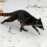 Der Racoon, der zentralamerikanische Waschbär.