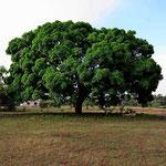 Wir lieben solche Mangobäume als Schattenbäume.