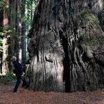 Die Giganten sind relativ feuerresistent. Am Baumfuss kann man aber die Brandwudnen erkennen.