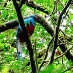 """Der """"geschenkte"""" Quetzal, leider war uns dieser Blick nicht gegönnt."""