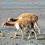 Vicunjas, die Verwandten der Lamas.