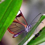 Und ganz selten erwische ich mal einen Schmetterling. dieser hat transparente Flügel.