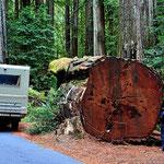Die Redwood werden bis zu 6 m dick, d.h. dies ist ein kleines Exemplar.