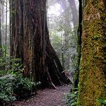 Monteverde hat (teilweise) behindertengerechte Wege, ein recher Spaziergang durch die Wunderwelt des Nebelwaldes.