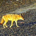 Um uns eine Gruppe von 6 Kojoten. Abends lauschen wir deren Gehäul, morgens sehen wir die Tiere um uns herum.