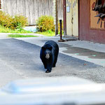 Ein vorwitziger Schwarzbär mitten in Haider. Nachher will er auf unser Auto klettern.