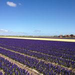 Hyacinths bloom in the village