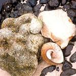 Mupfeln und Korallen