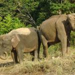 Waldelefanten in Borneo