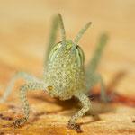 Acanthacris ruficornis L2 - female