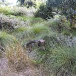 Saltatoria Fundort feucht: George, Südafrika