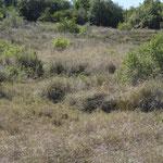 Saltatoria Fundort trocken: Addo, Südafrika
