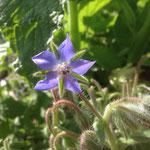 la fleur de bourrache comestible