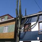 kaktus som trädgårdsväxt