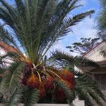 Palmfrukter Porto Santo