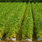 タバコの畑。私はタバコは吸わないが、畑は美しい。もちろんウチの畑ではありません!