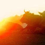 ...die Sonn' geht auf, die Kuh macht muh...