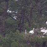 Spatules autour d'un nids de cigogne à la héronnière du Marquenterre