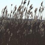 Roseaux dans le vent