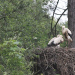 Encore un nid de cigogne avec deux petits et un adulte