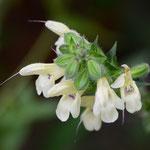 黄花アキギリ