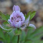 咲き出したピンク八重菊咲イチゲ