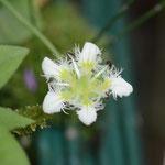 シラヒゲウメバチソウ(白髭梅鉢草)