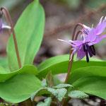 平成最後の年のカタクリは3月下旬に開花