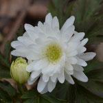 八重咲菊咲イチゲ雪の精