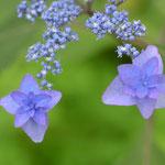 ヤマアジサイ深山八重紫