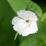 白花松本センノウ