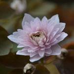 八重咲梅花カラマツ カメオ