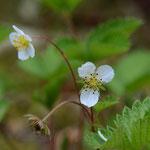 白花ヘビイチゴ