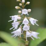 シモバシラ(霜柱)寒い冬、茎に霜柱が見える