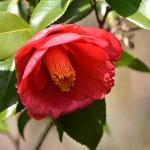 椿(同じ木に右の椿と咲いている)
