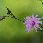 八重咲カッコウセンノウ