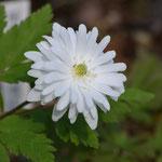 菊のようになった八重咲菊咲イチゲ「雪の精」
