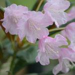 筑紫シャクナゲ