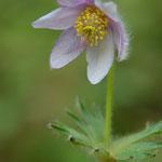 遅咲きのルイコフイチゲ