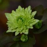 緑花梅花カラマツ