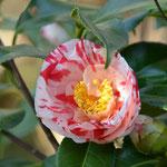 椿(同じ木に左の花と一緒に咲いている)