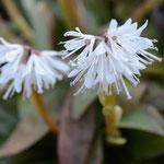 白花ショウジョウバカマ